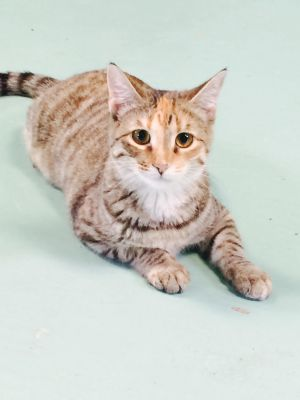 Gold Domestic Short Hair Cat