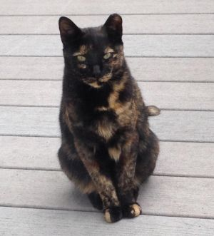 Deuce is a 65 year old Tortie She is spayed and has her rabies shot She shy and would do