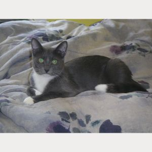Colt is a handsome gray and white male that arrived at the shelter with his siblings They all got a