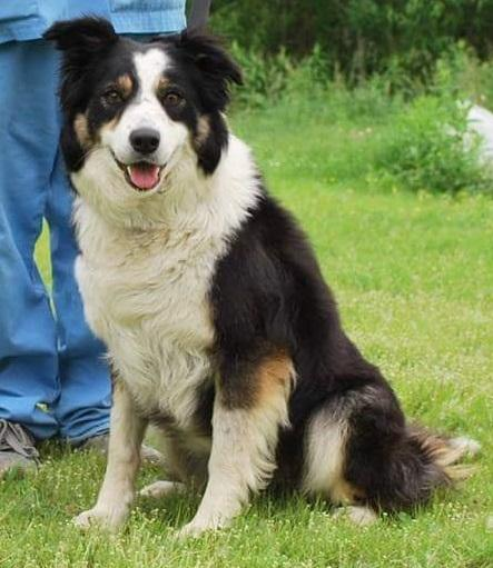 Liz, an adopted Border Collie in Longueuil, QC