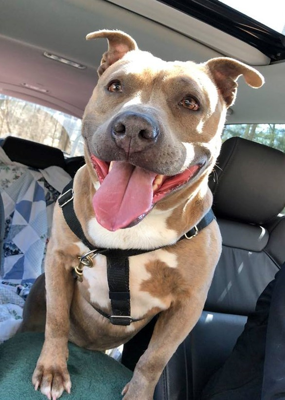 Gloria - Adoption Pending!, an adopted American Staffordshire Terrier & Terrier Mix in Briarcliff Manor, NY