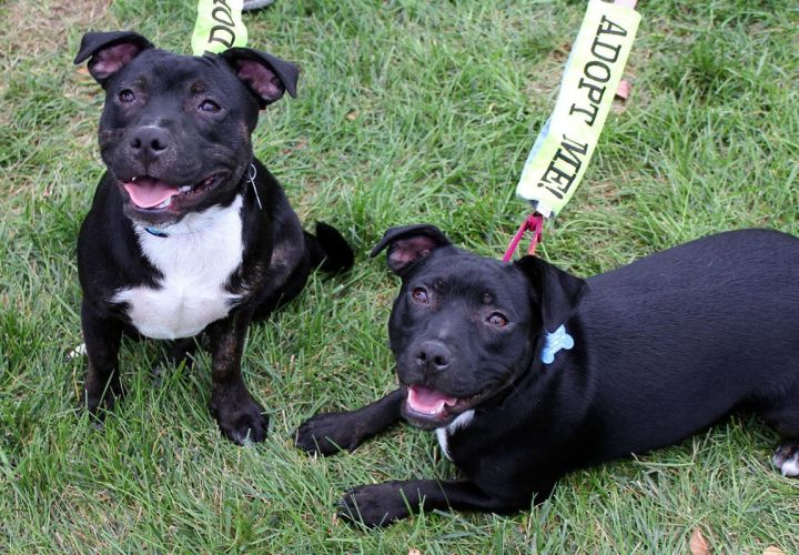 Ethan & Etta: Adopted!, an adopted Dachshund & American Staffordshire Terrier Mix in Kansas City, KS