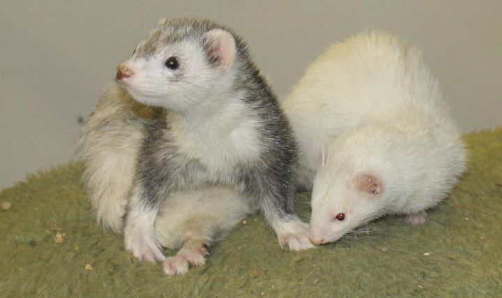 Fritz and Jody, an adopted Ferret in Randolph, NJ