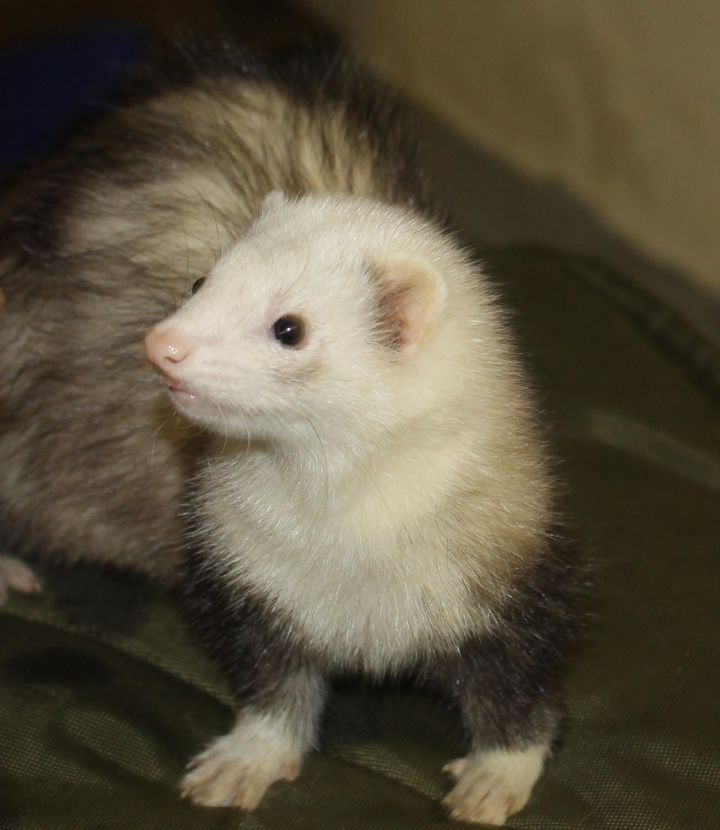 Bam Bam, an adopted Ferret in Randolph, NJ