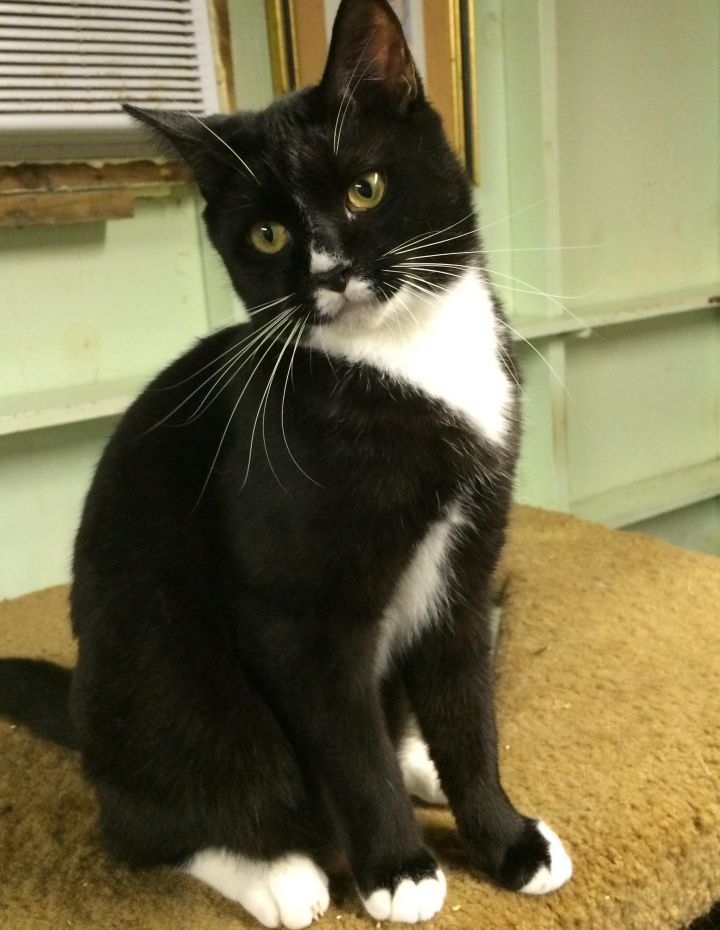 Austin, an adopted Tuxedo in Tallahassee, FL