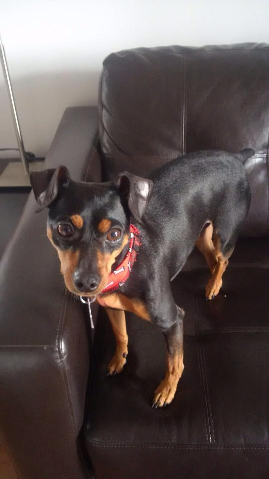 Spike, an adopted Miniature Pinscher in Laval, QC