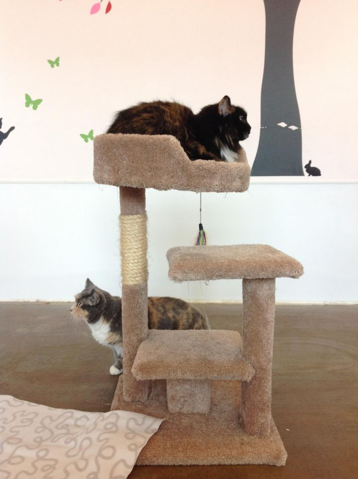 Serena and Venus, an adopted British Shorthair & Domestic Medium Hair Mix in Seattle, WA