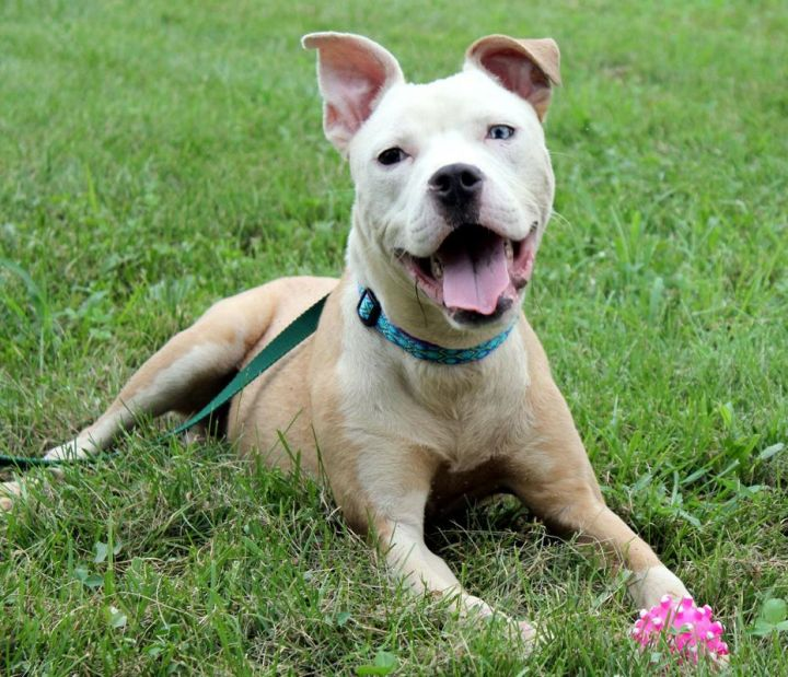 Bowie: Adopted!, an adopted Pit Bull Terrier Mix in Kansas City, KS