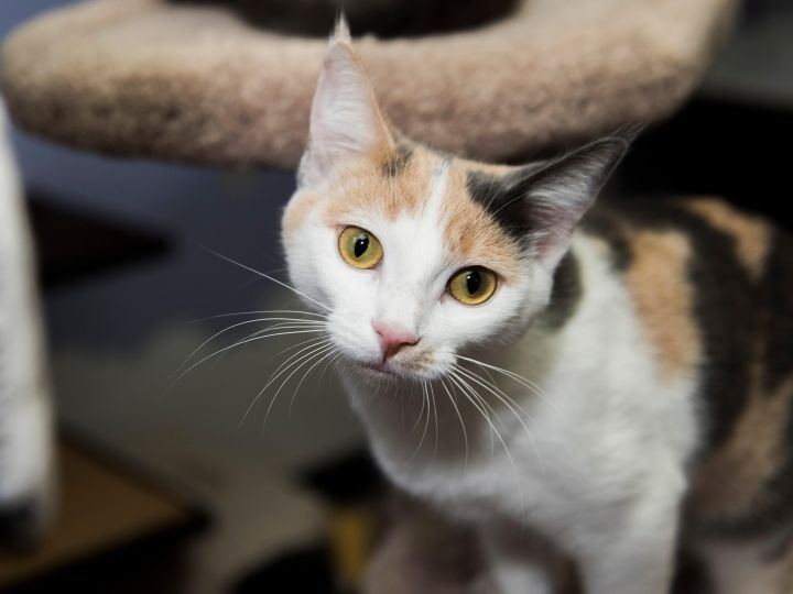 Trica, an adopted American Shorthair in Fort Smith, NT