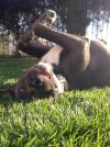 American Staffordshire Terrier Dog: FITZ