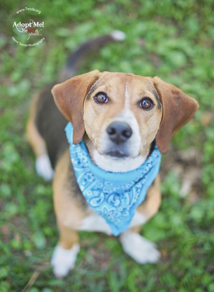 Baxter, an adopted Beagle in Kingwood, TX