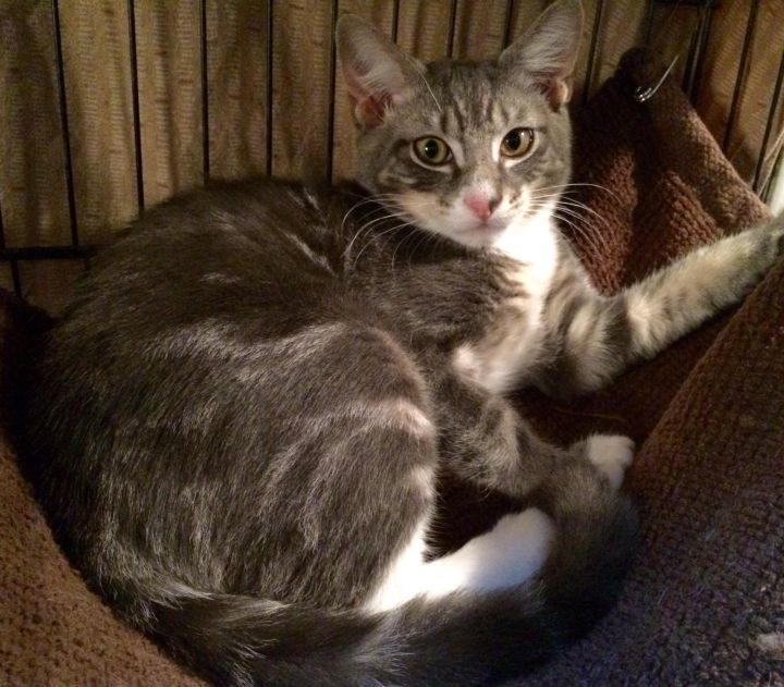 Greystoke, an adopted Tabby in Tallahassee, FL