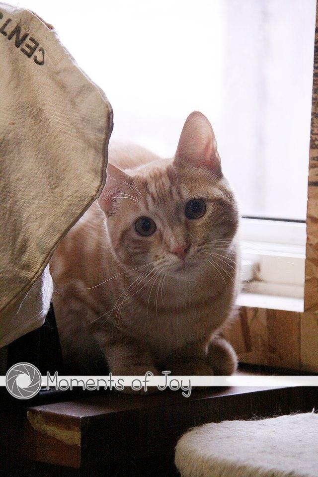 Leven, an adoptable Tabby & Domestic Short Hair Mix in Waverly, IA_image-1