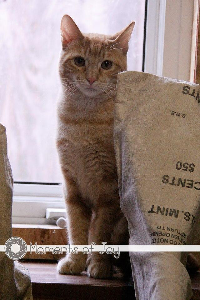 Leven, an adoptable Tabby & Domestic Short Hair Mix in Waverly, IA_image-3