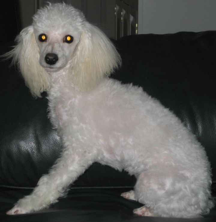 Dog For Adoption Meri A Poodle In Dover Ma Petfinder