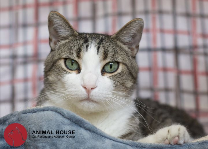 Yahtzee, an adoptable Domestic Short Hair in St. Louis, MO