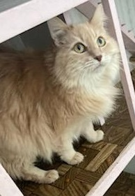 Orlando, an adoptable Domestic Long Hair Mix in Waverly, IA