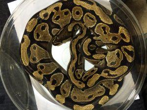 Snake for adoption - Betty Ball Python, a Python in Houston, TX