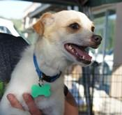 Austi, an adopted Terrier Mix in Covington, WA