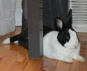 Benny Dutch Rabbit
