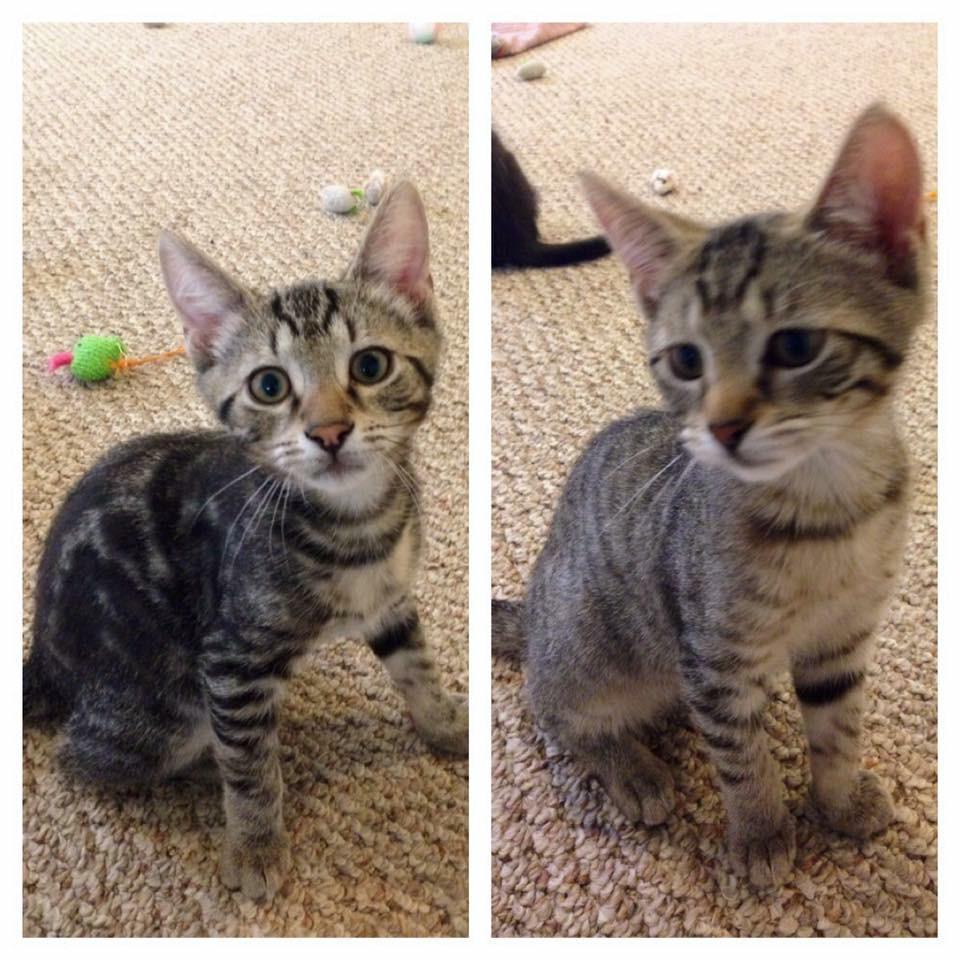 Cat for Adoption – Kittens near Baltimore MD