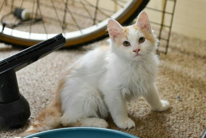Mason, an adopted Domestic Long Hair & Maine Coon Mix in Centreville, VA