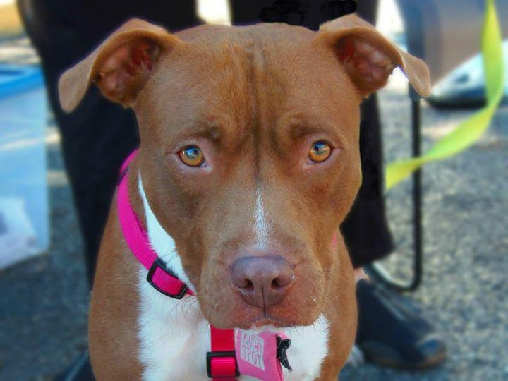 Adeline, an adopted Pit Bull Terrier in New Albany, OH