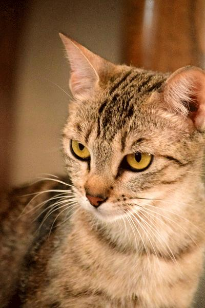Topaz, an adoptable Abyssinian & Tabby Mix in Palo Cedro, CA
