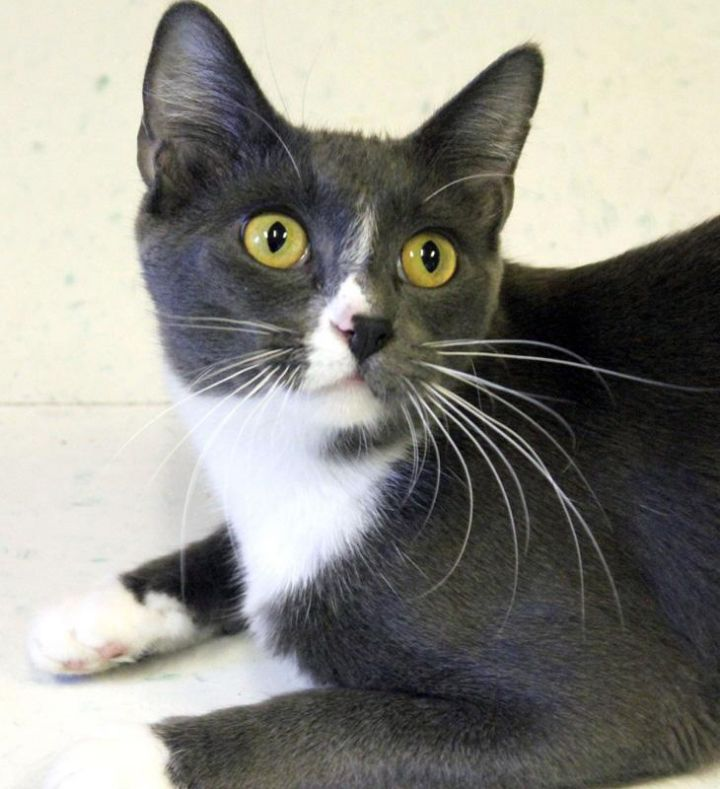 Stormy: Adopted!, an adopted Domestic Short Hair in Kansas City, KS