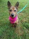 Belgian Shepherd / Malinois Dog: Prancer
