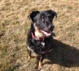 Sammy, an adopted Border Collie Mix in New Albany, OH