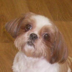 Dog For Adoption Leeah A Shih Tzu In Trufant Mi Petfinder