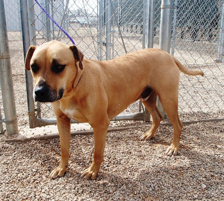 Dunn, an adopted Bullmastiff Mix in Gillette, WY