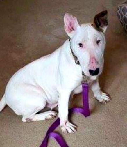 Millie, an adopted Bull Terrier in Binghamton, NY