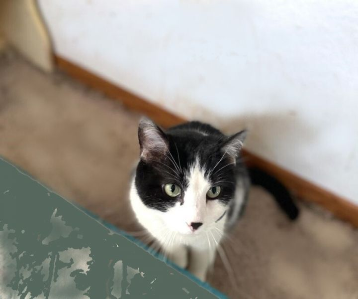 McSteamy & McDreamy, an adoptable Domestic Short Hair Mix in Waverly, IA_image-2