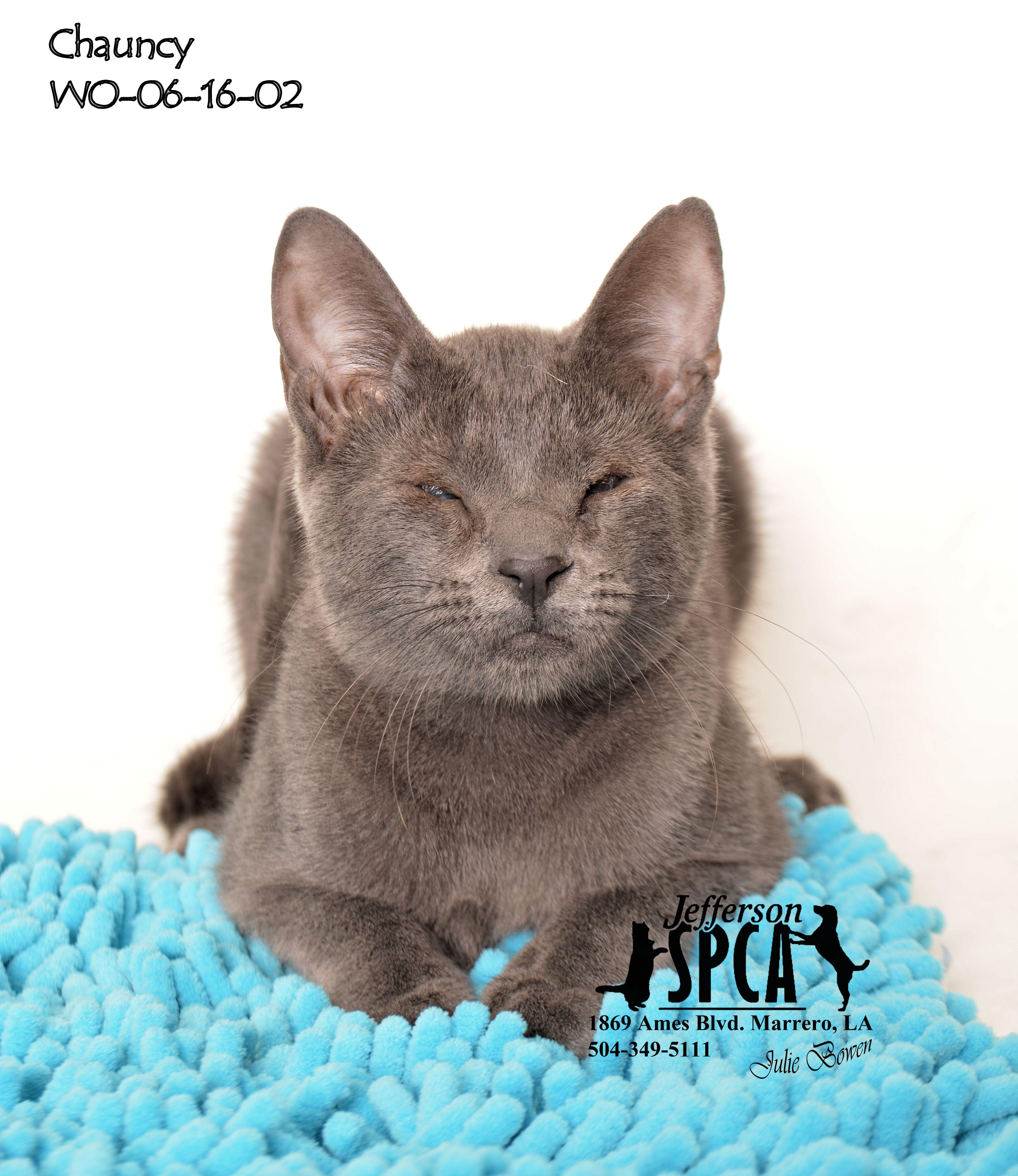 Cat for Adoption – Chauncy In a Foster Home near Marrero LA
