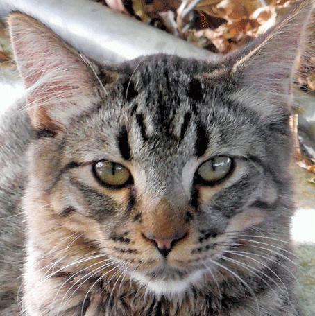 Brett, an adopted Maine Coon & Tabby Mix in Palo Cedro, CA