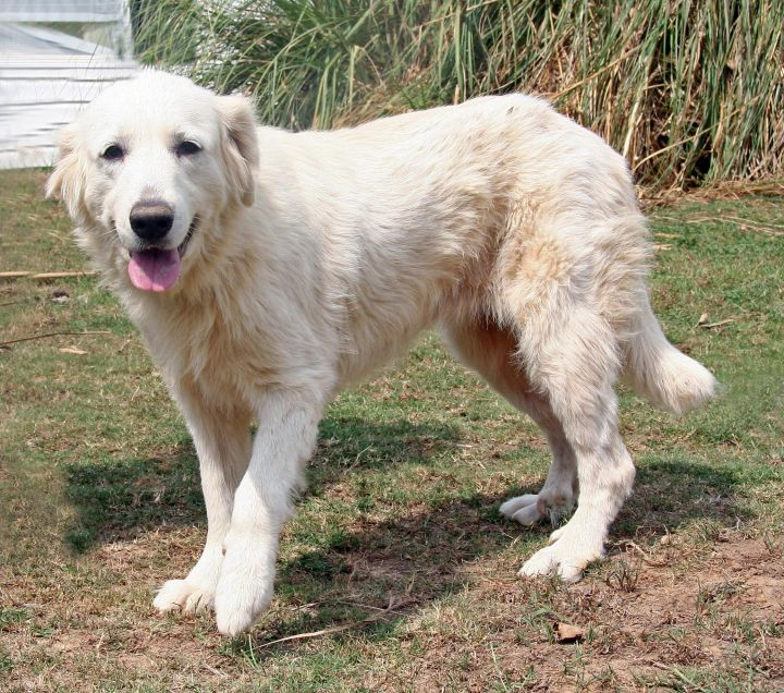 Stassi, an adopted Great Pyrenees Mix in Portland, ME