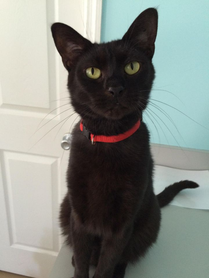 Onyx (aka Larry), an adopted Domestic Short Hair in Pompano Beach, FL