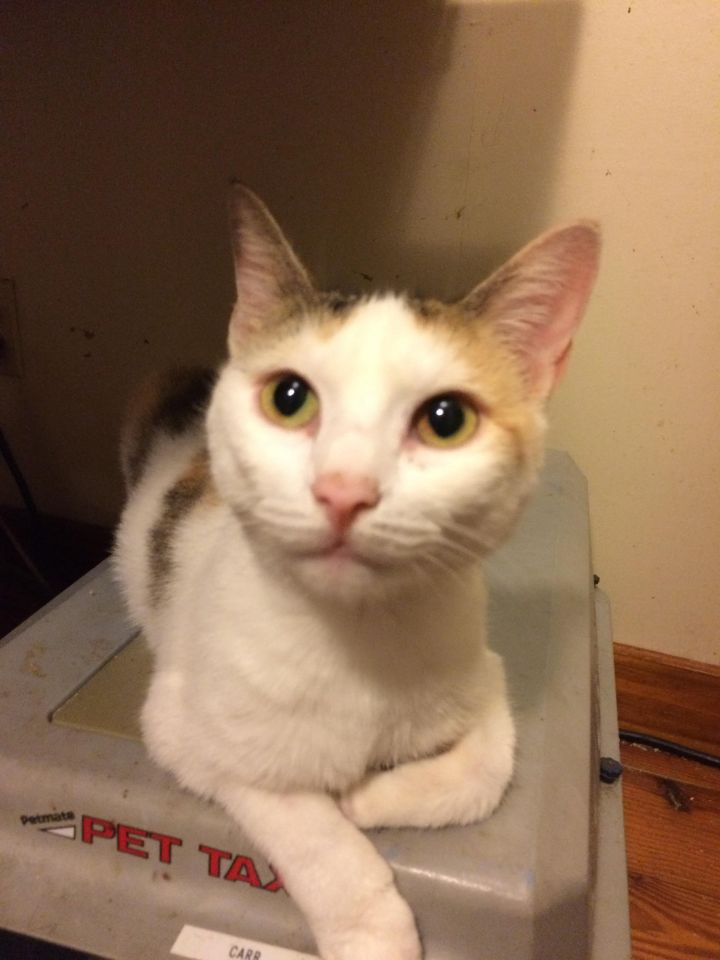 Stoli, an adoptable Domestic Short Hair in Oakland Park, FL