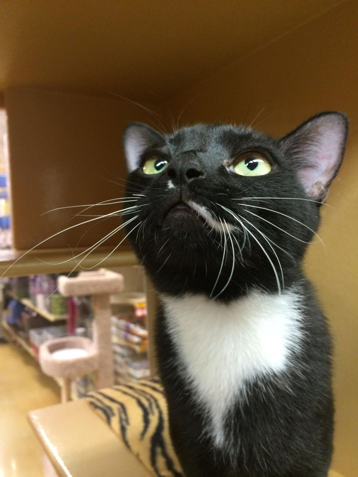 Captain Blake, an adoptable Domestic Short Hair in Pompano Beach, FL