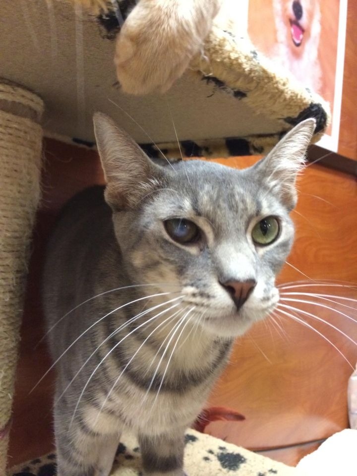 Damian (aka Rick), an adoptable Domestic Short Hair in Pompano Beach, FL