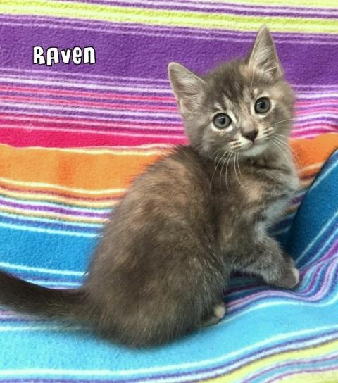RAVEN, an adopted Siamese & American Shorthair Mix in Sumter, SC