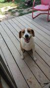American Bulldog Dog: Stara (fee waived)