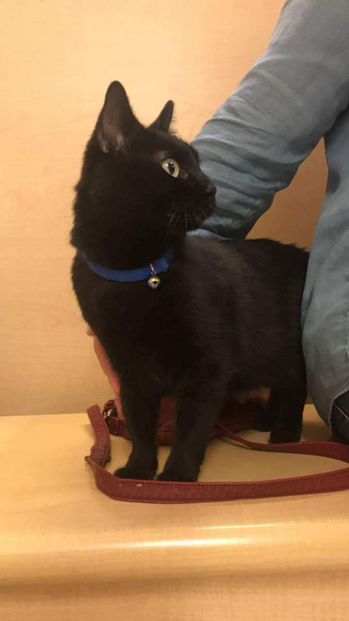 Ninja, an adoptable Domestic Short Hair in Waverly, IA