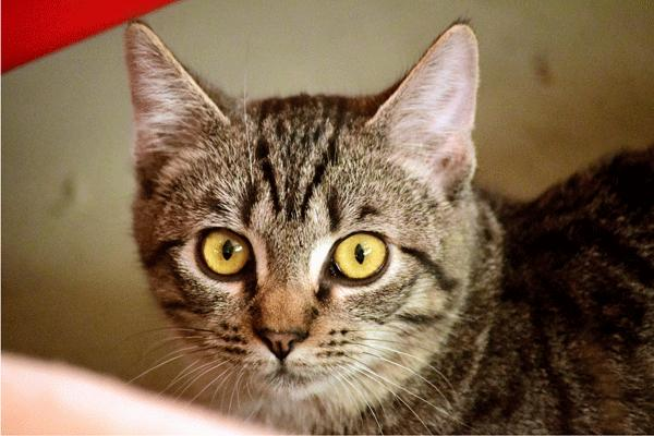 Tilly, an adoptable Tabby & Domestic Short Hair Mix in Palo Cedro, CA