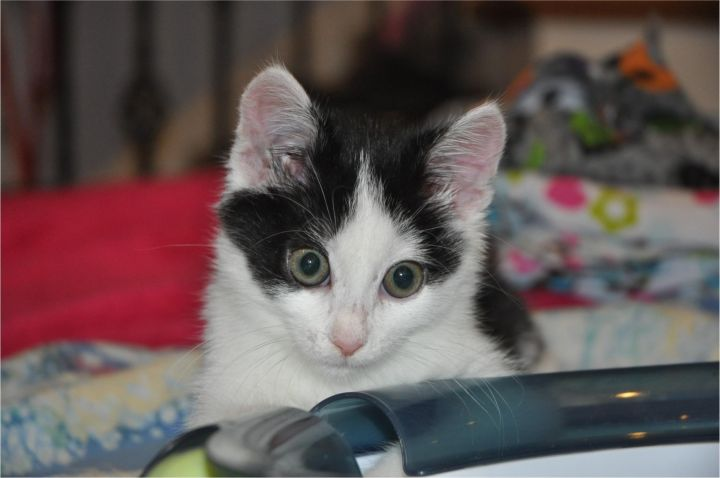 Oreo (Bobtail), an adopted Domestic Short Hair Mix in Anderson, SC_image-1