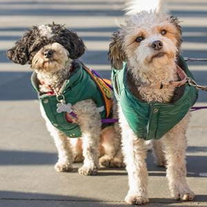 Alex & Freddy, an adopted Poodle Mix in Brooklyn, NY
