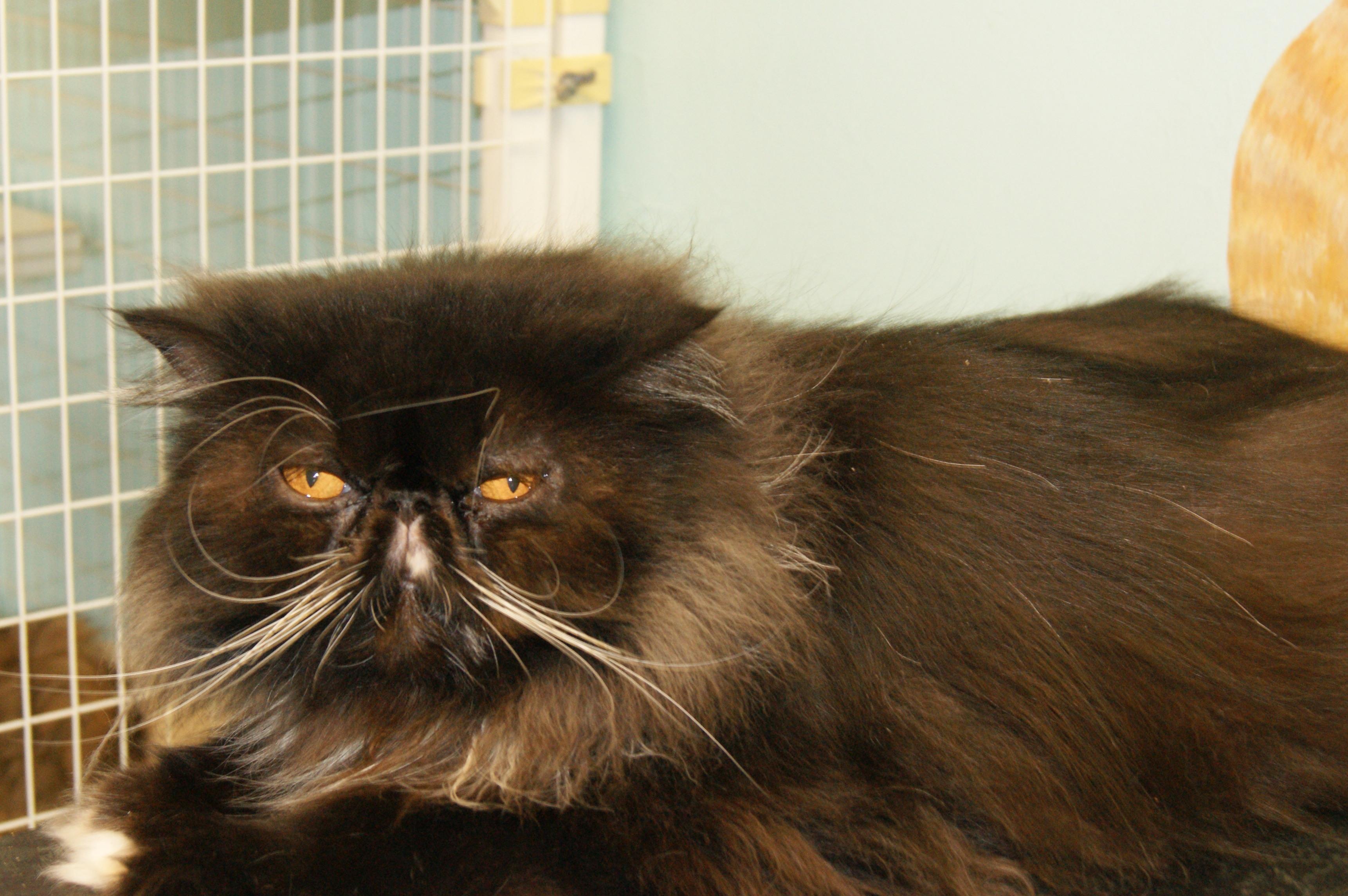 Cat for Adoption – Baxter near Memphis TN