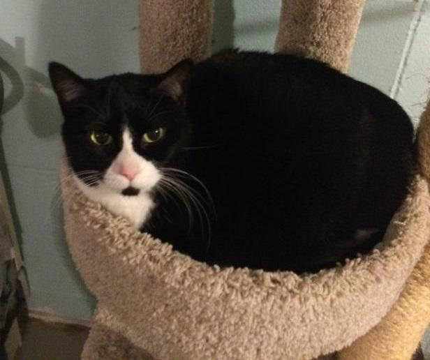 Tazzy, an adoptable Domestic Short Hair & Tuxedo Mix in Waverly, IA_image-4